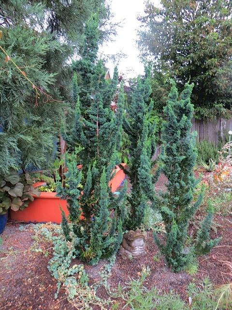 conifer cluster