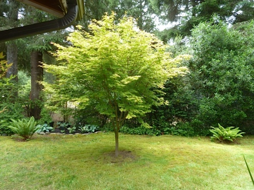 the coral bark maple in the back yard