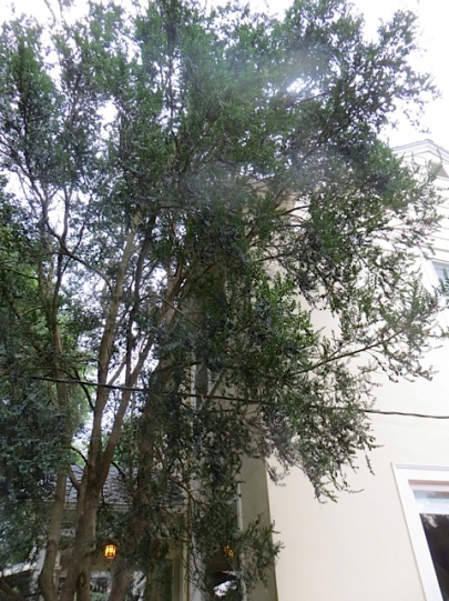 I remember this huge Azara microphylla on the corner of the Ernst house.