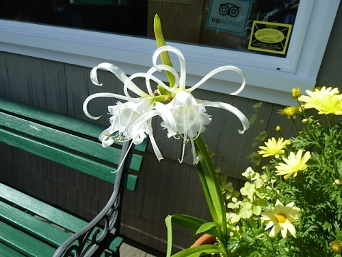 Peruvian daffodil by the office bench