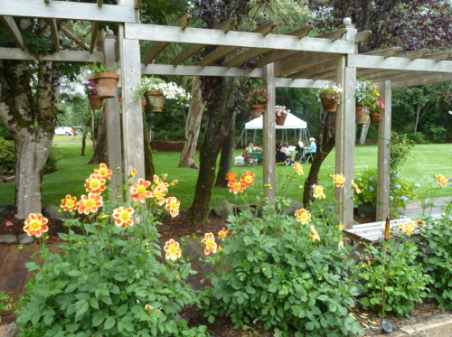 dahlias along the pergola