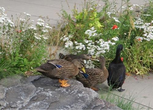 ducks2