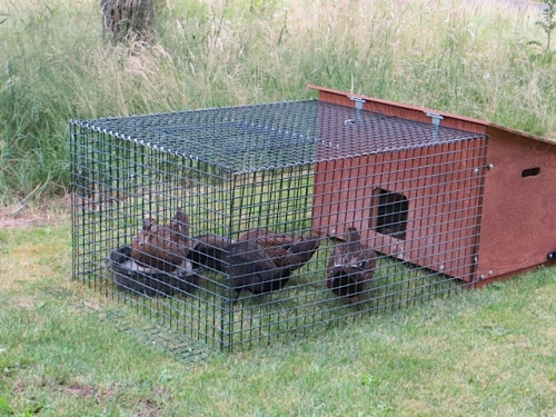 The ducks had been caged.
