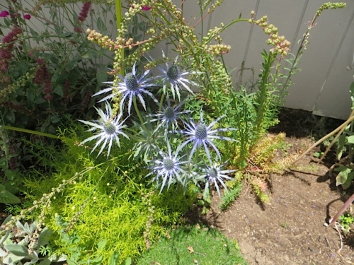 Port Office garden: Eryngium 'Sapphire Blue' beginning to fade from its most vibrant blue.