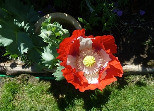 Danish flag poppy