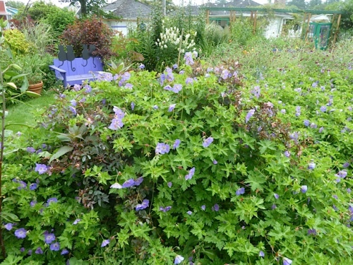 Uh oh, Geranium 'Rozanne' is swallowing Rosa glauca.
