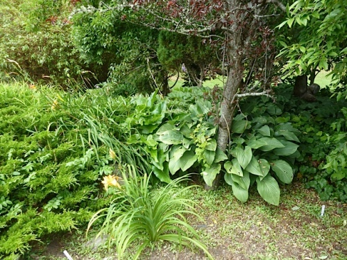 a lovely hosta collection
