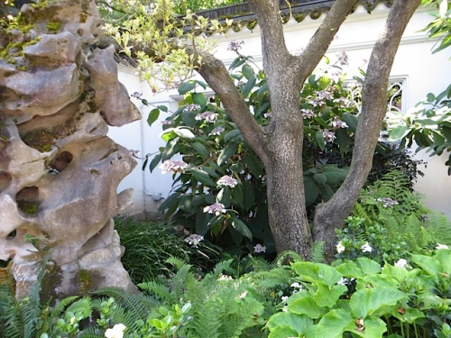I see a Hydrangea aspera and again ponder where I am going to plant the two I recently acquired.  I like this tucked away spot.