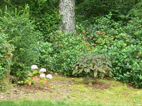 hydrangeas, north of the driveway turn, including the dark leaved 'Plum Passion'