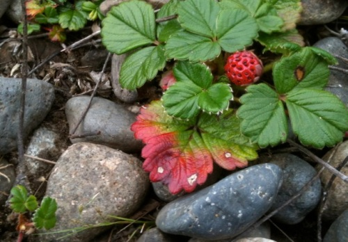 a beach strawberry's fruit in the curbside garden by Time Enough Books