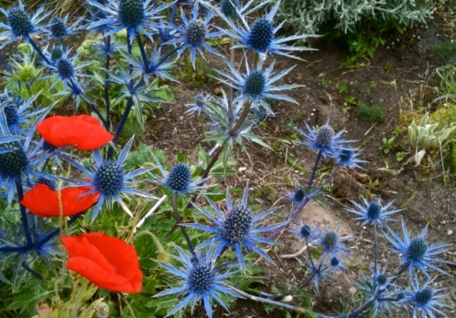 poppy and Eryngium 'Sapphire Blue' at the easternmost Howerton Way garden bed