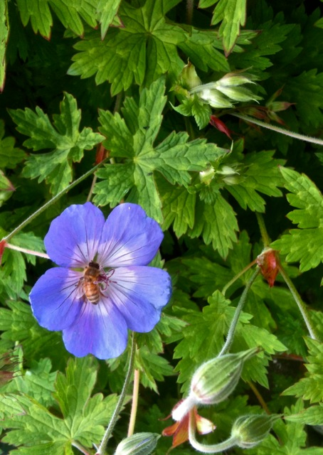 Geranium 'Rozanne' at the Powell Gallery