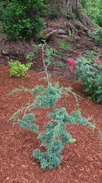 Chamaecypris pisifera compressa (Blue Moss Cypress), photo by Pam Fleming