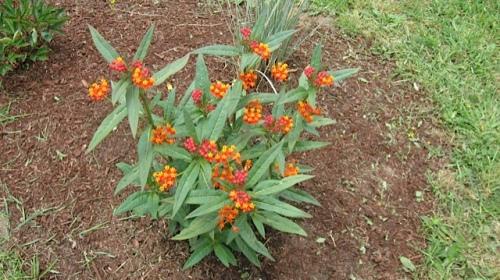 Asclepias Curassavica 'Apollo  Orange' (Scarlet Milkweed)