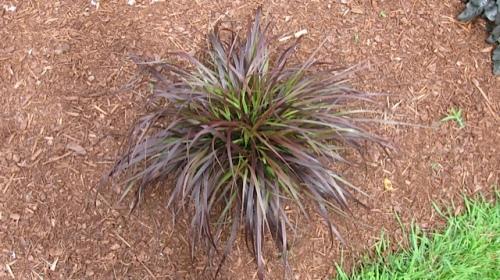 Penisetum setaceum var rubrum (Red Feather Grass)