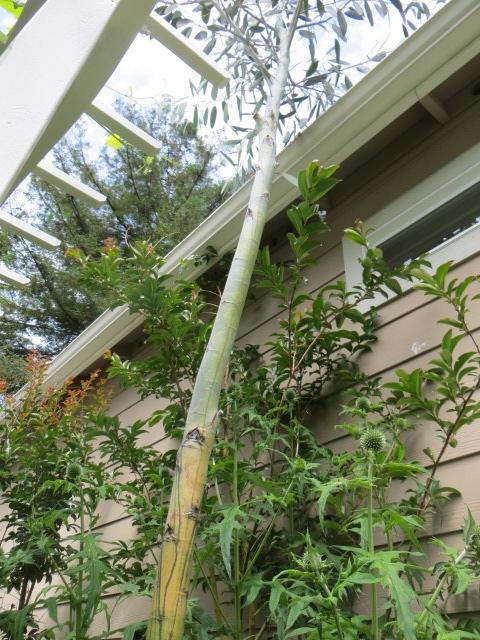 Eucalyptus against the house