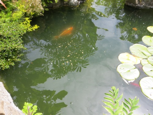 some shy koi