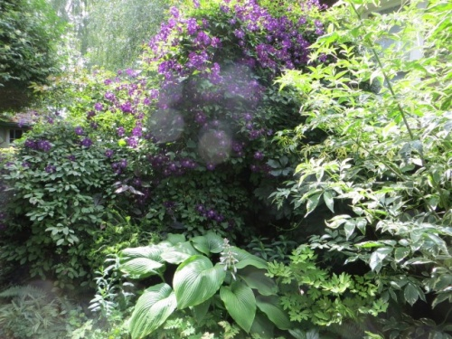 hazed out purple Clematis