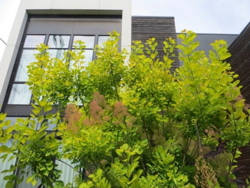 softened with Cotinus 'Golden Spirit' (if that is what it is, must note that mind could get big!)