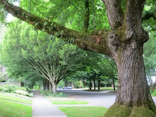 street trees of Portland