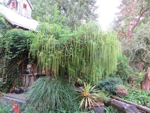 Itea ilicifolia: must have