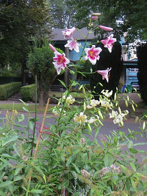 parking strip lilies