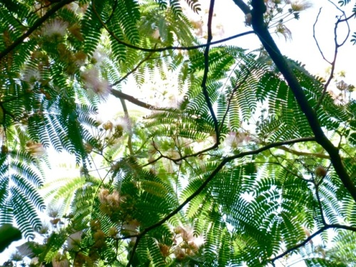 mimosa tree; Allan's photo