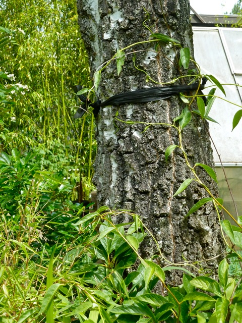 Allan's photo: how to guide a vine up a tree