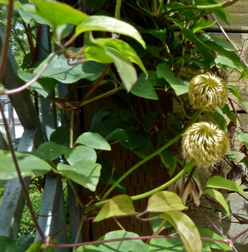 Allan's photo: Clematis tangutica, I bet.