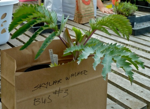 Even sweeter:  Allan snagged the last Melianthus major...