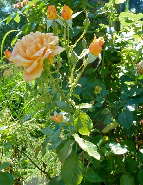 Garden Sun (climber)