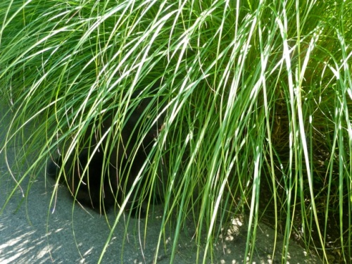 grasses with a hiding cat
