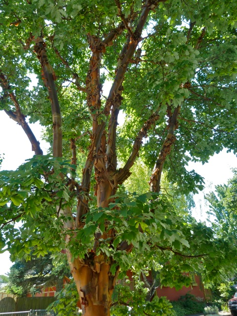 Surely Acer griseum (paperbark maple); I left mine, too big to move, behind in my old garden.