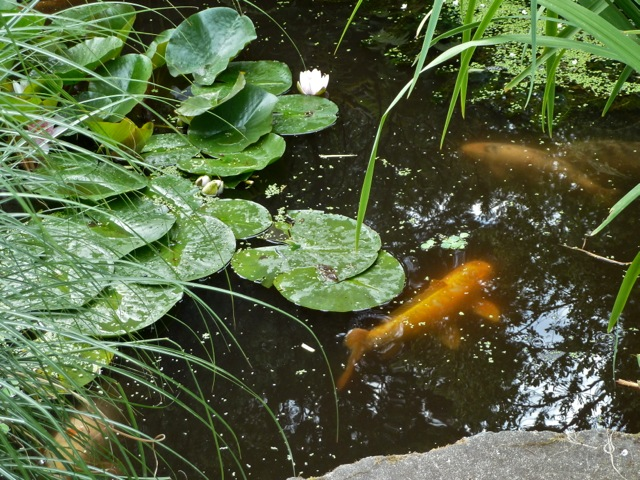 the little koi pond