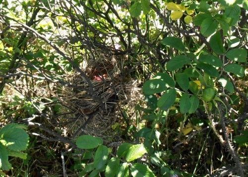 Allan found a bird nest in the roses.