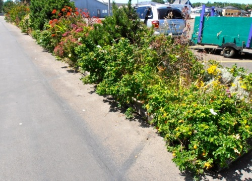 He began by pruning back the overhanging roses