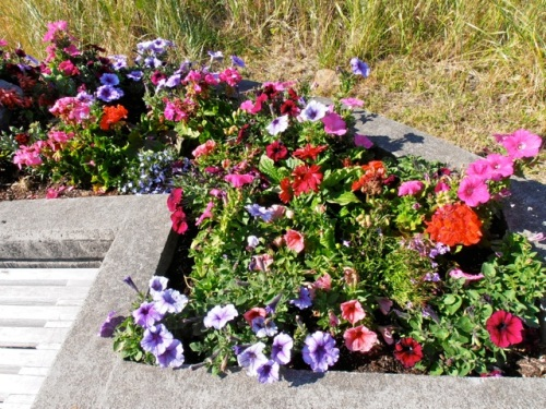 In the westernmost planter, Back Alley Horse Rides is doing a good job of taking care of the petunias that they planted.  (Allan's photo)