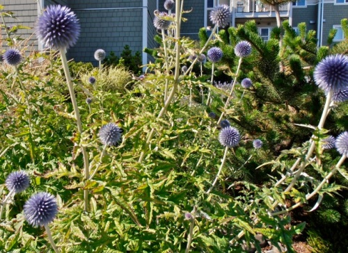blue globe thistle in one of the planters, an excellent plant from back in volunteer planter days