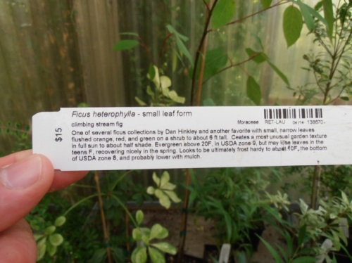 "Allan's photo: an ""I want"" Ficus; maybe one of the two plants he bought here."
