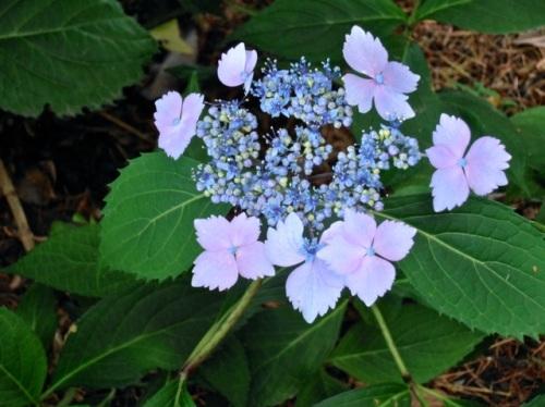 Allan's photo:  hydrangea