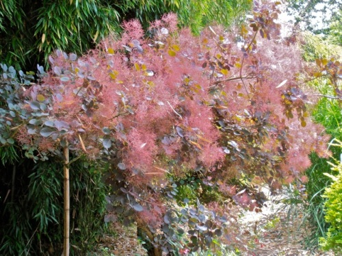 Allan's photo: Cotinus and Eucalyptus