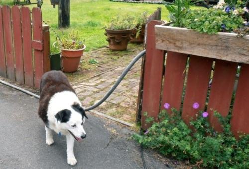 the garden dog, Allan's photo