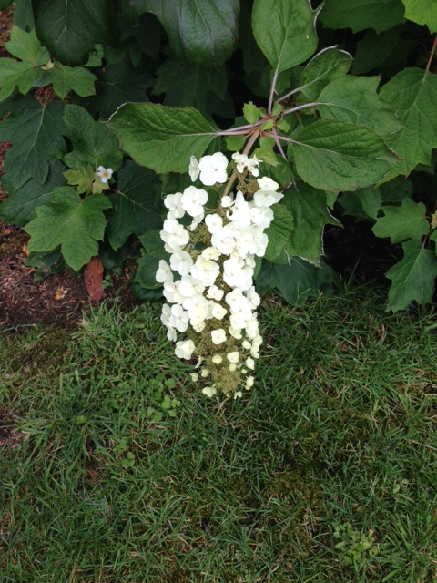 Hydrangea quercifolia 'Snowflake', photo by Dwight Caswell