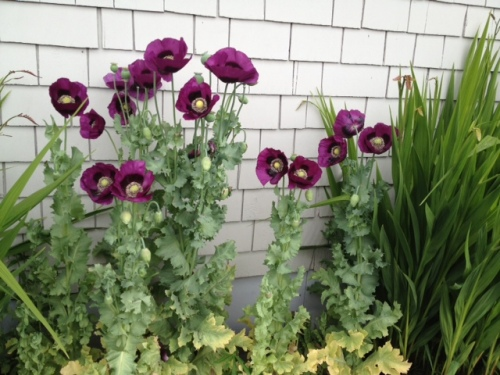 and poppies, reseeded from some planted by Gene Miles
