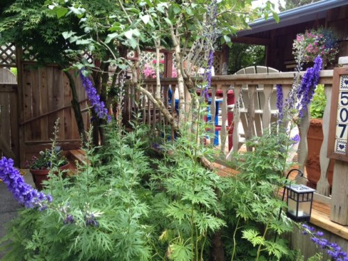 Aconitum (monkshood) by the back deck