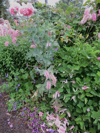 sanguisorba and pink poppies