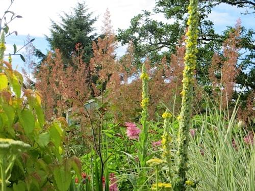 Macleaya cordata (plume poppy) reminding me why I put up with its invasive ways