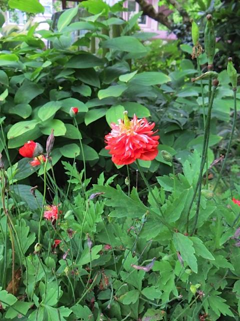 a frilly little poppy