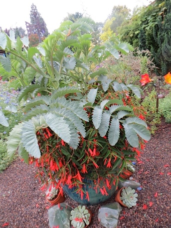 Melianthus major in a pot