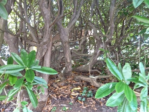 and gnarled old rhodo trunks reminiscent of some of the very old rhodos in Stephen and John's bayside garden.